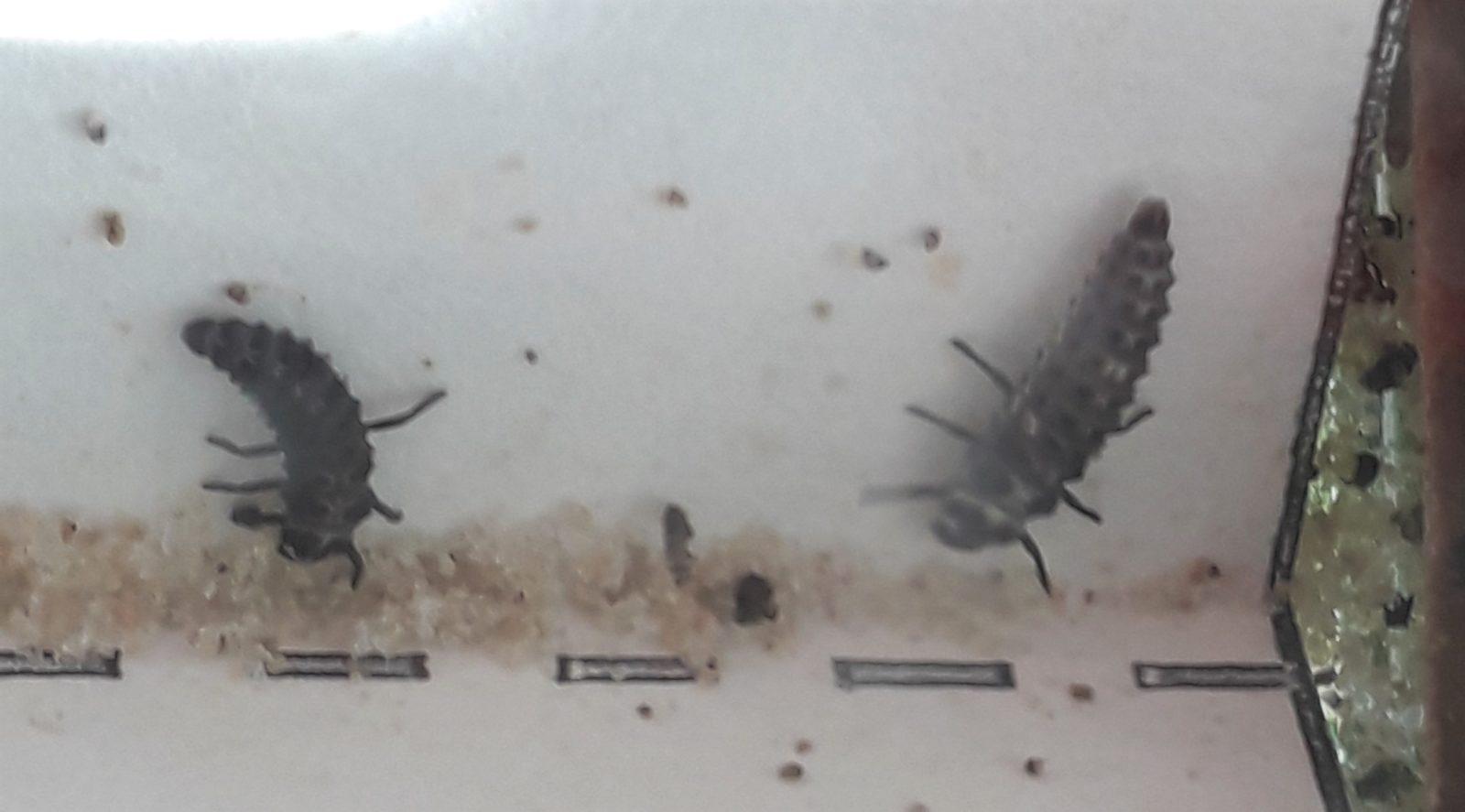 larves 3